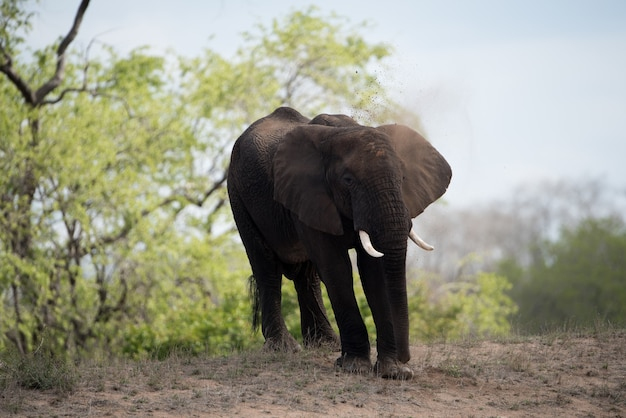 Beautiful shot of an african elephant with a blurred background