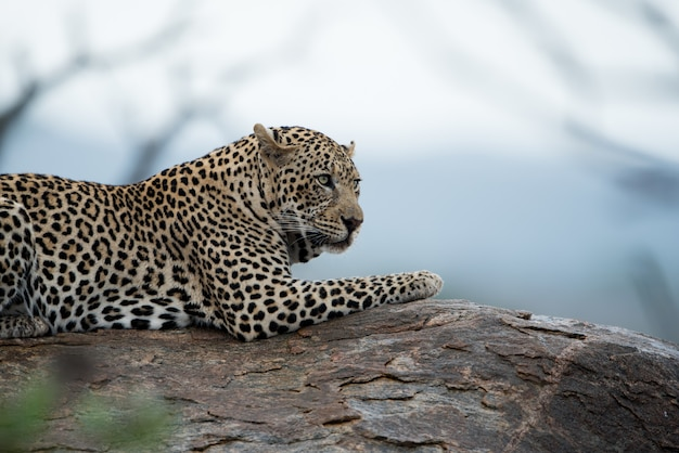 Beautiful shot of an african leopard resting on the rock