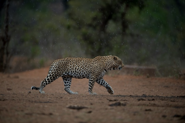 Beautiful shot of an african leopard walking under the rain with a blurred background