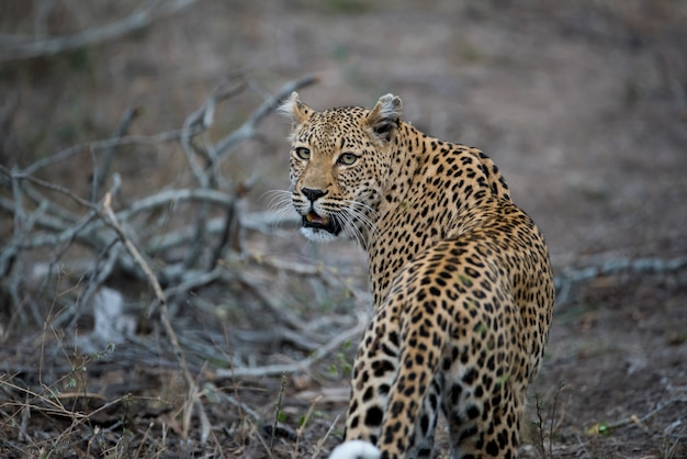 Beautiful shot of an african leopard Free Photo