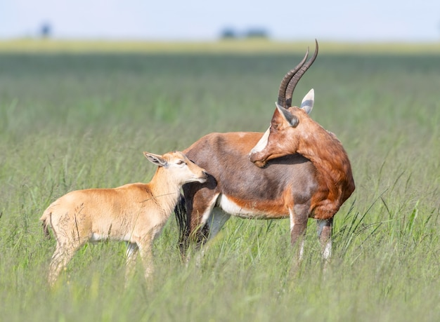 Beautiful shot of antelopes family standing in a green field