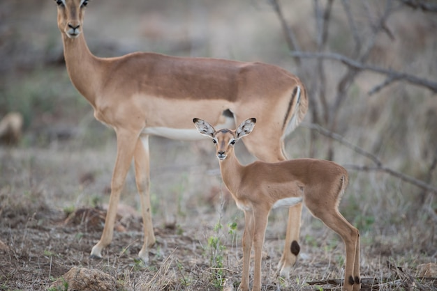 Beautiful shot of a baby and mother antelope