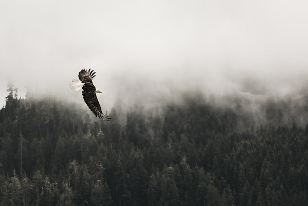 Beautiful shot of a bald eagle flying above the forest with fog