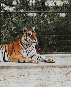 Beautiful shot of a bengal tiger laying on the ground at a zoo