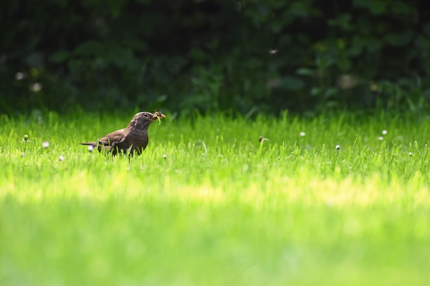 A beautiful shot of a bird in nature. blackbird in the grass catching insects. (turdus merula)