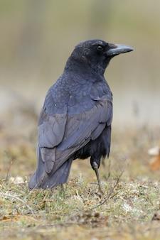 Bellissimo scatto di un corvo nero in piedi nel campo