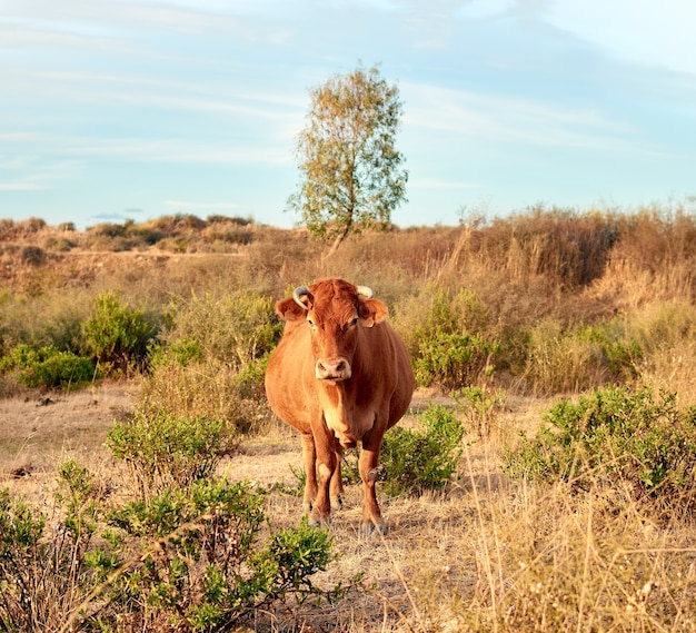 Beautiful shot of a brown cow in the field