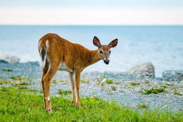 Beautiful shot of brown deer on a of sea