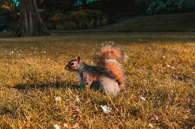 Beautiful shot of a brown squirrel in the fields