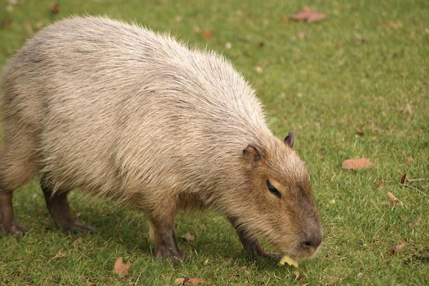 Bellissimo scatto di un mammifero capibara che cammina sull'erba nel campo
