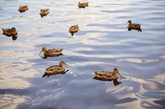Bellissimo scatto di polli di un cigno della tundra in un'acqua