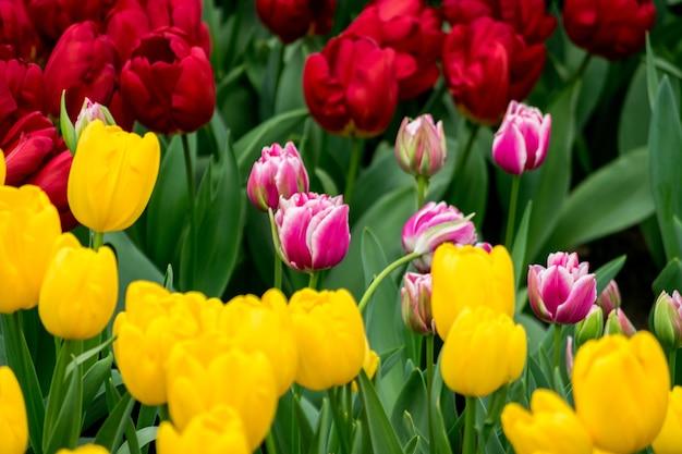 Bellissimo scatto dei tulipani colorati nel campo in una giornata di sole