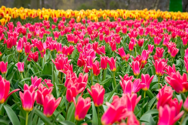 Beautiful shot of the colorful tulips in the field on a sunny day