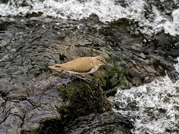 Beautiful shot a common sandpiper bird near the sakai river in a forest in kanagawa, japan
