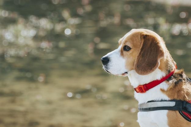Bellissimo scatto di un simpatico cane beagle