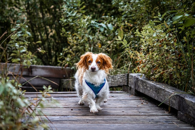 Beautiful shot of a cute chi weenie dog walking on a wooden pathway