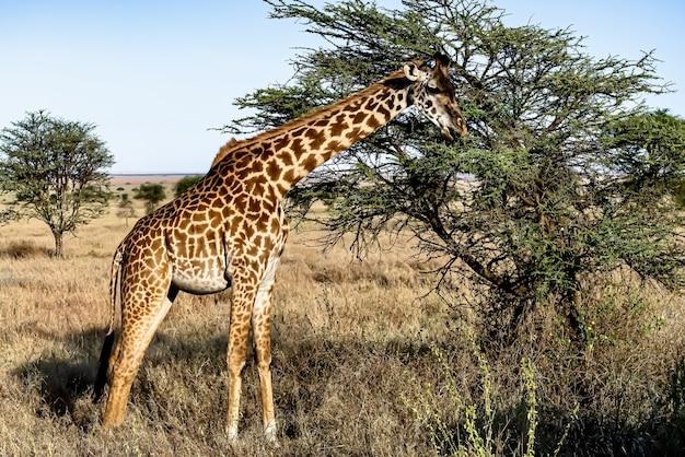 Bellissimo scatto di una simpatica giraffa con gli alberi e il cielo azzurro