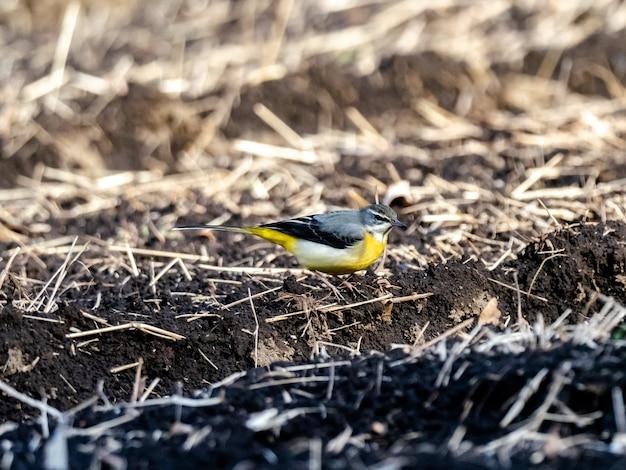 Bellissimo scatto di un simpatico uccello grigio ballerina a terra nel campo in giappone