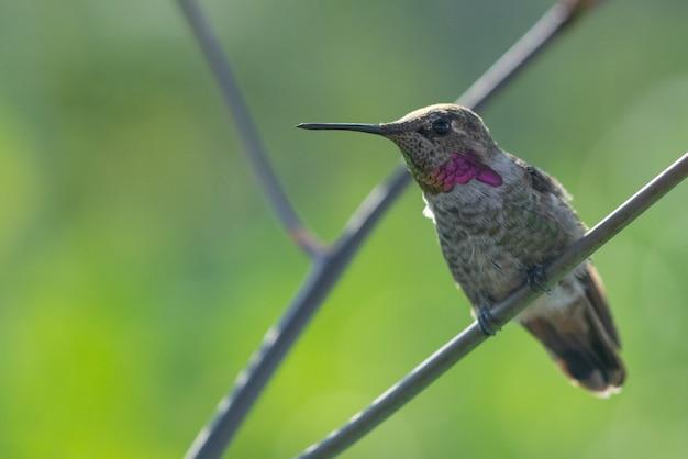 Bellissimo scatto di un simpatico colibrì seduto sul ramo di un albero nella foresta