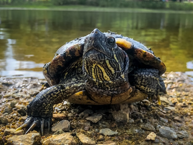 Bellissimo scatto di una simpatica tartaruga vicino alla riva di un lago circondato da alberi