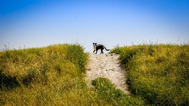 Beautiful shot of a dog running on the hill with a clear blue sky