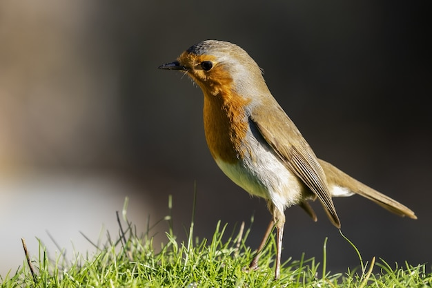 Beautiful shot of a european robin (erithacus rubecula) standing on the grass in a field