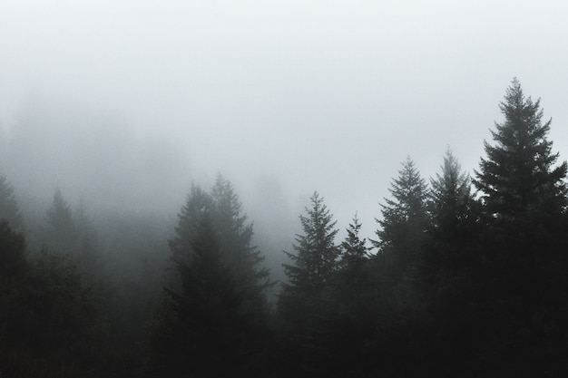 Beautiful shot of fog covering pine trees