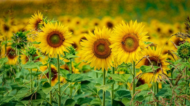 Beautiful shot of fresh sunflowers growing straightly in the field