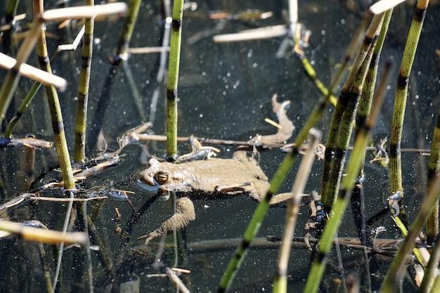 Bella ripresa di una rana che nuota nel laghetto chiamato sulfne in alto adige, italia