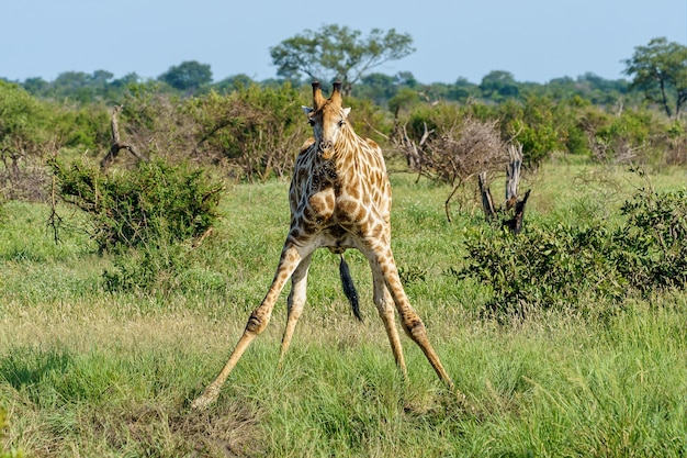 Beautiful shot of a giraffe spreading its front legs on a green grass ground during daytime