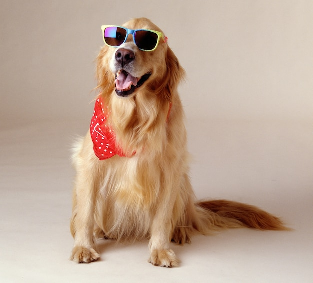 Beautiful shot of a golden retriever wearing cool sunglasses and a red handkerchief