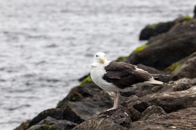 Bello scatto di un grande gabbiano col dorso nero su una roccia in riva all'oceano