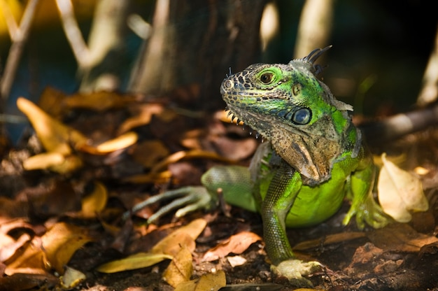 Beautiful shot of a green iguana with a blurred backgroun