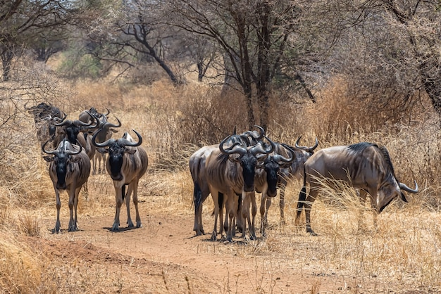 Beautiful shot of the group of african wildebeests on a grassy plain