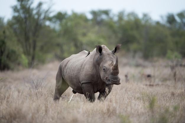 Bellissimo scatto di un enorme rinoceronte con uno sfondo sfocato
