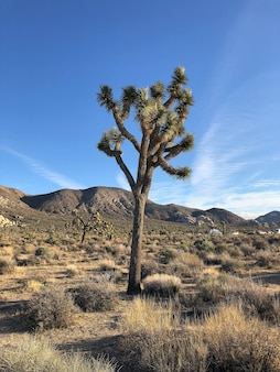 Beautiful shot of a joshua tree in the desert in new mexico with the blue sky