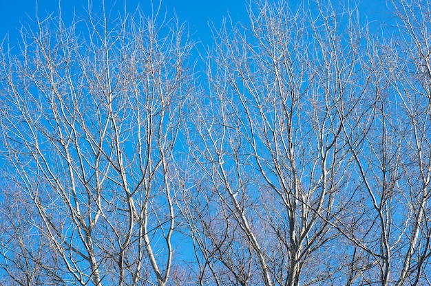 Beautiful shot of leafless trees with a blue sky
