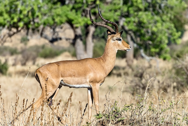 Beautiful shot of a male impala in the fields