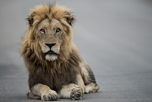 Beautiful shot of a male lion resting on the road