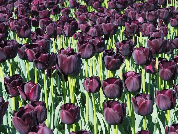 Beautiful shot of mesmerizing tulipa sprengeri flowering plants in the middle of the field