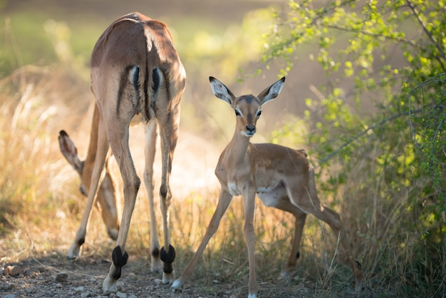 Beautiful shot of a mother antelope eating grasses with an alert face of baby antelope