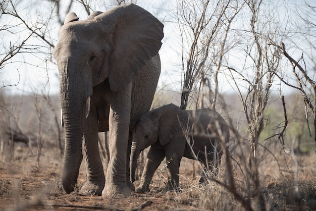 Beautiful shot of a mother elephant and her baby walking together