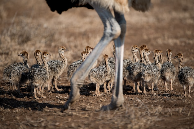 Beautiful shot of a mother ostrich with her babies
