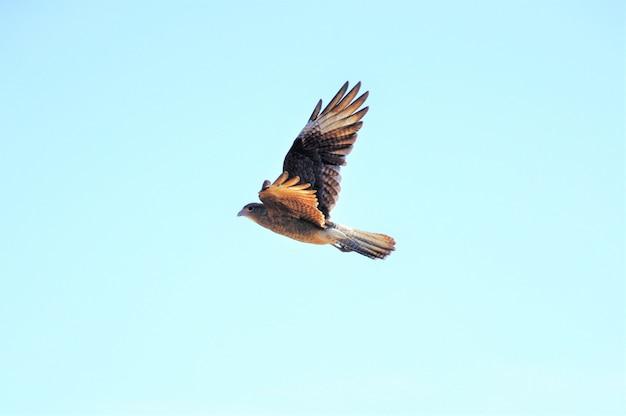 Bello colpo di un uccello del predatore nordico che vola sotto il chiaro cielo