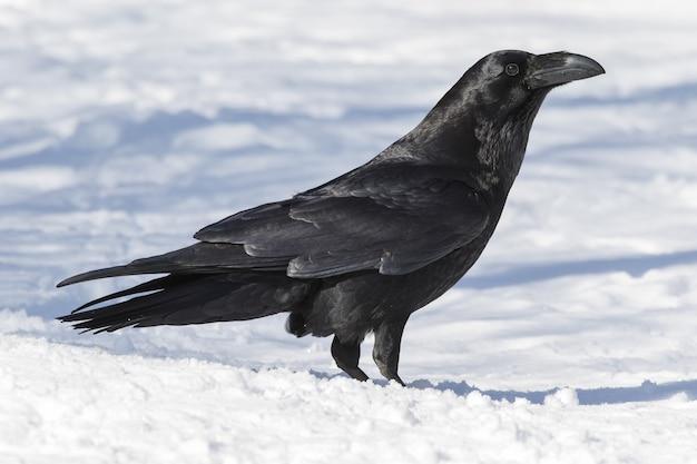 Красивый снимок черной американской вороны на земле, покрытой снегом