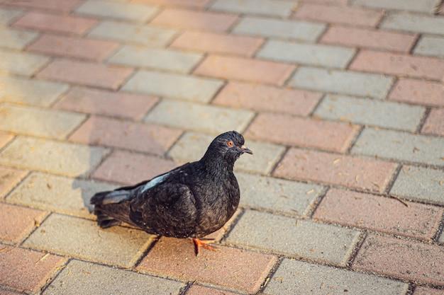 Красивый снимок черного голубя, идущего по улице