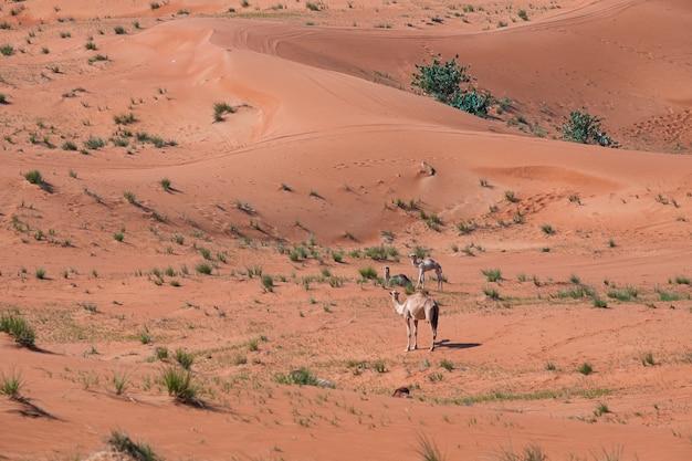 두바이, 아랍 에미리트의 사막에서 모래 언덕에 낙타의 아름다운 샷