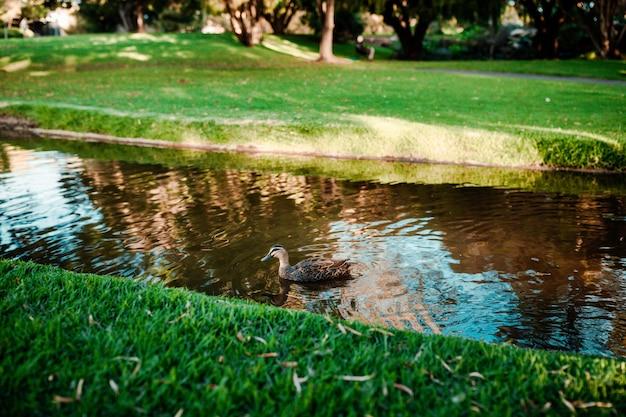 강에서 수영하는 귀여운 청둥 오리의 아름다운 샷