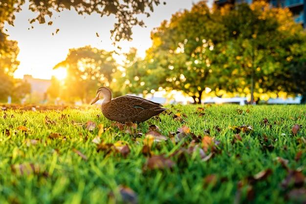 Красивый снимок милой кряквы, идущей по траве