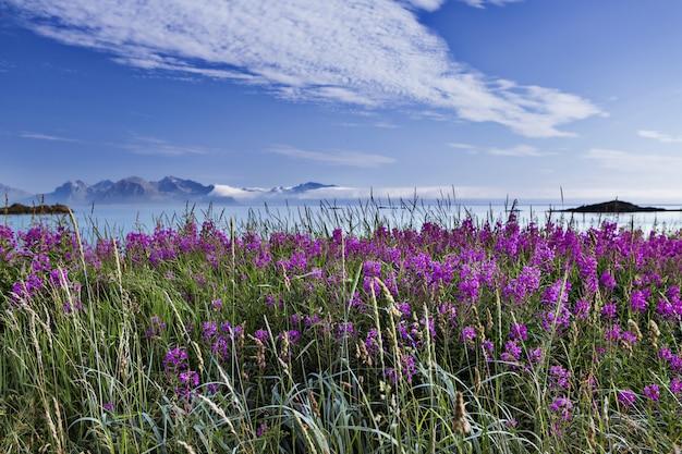 Красивая съемка поля полный фиолетовые английские лаванды в лофотенских островах, норвегия